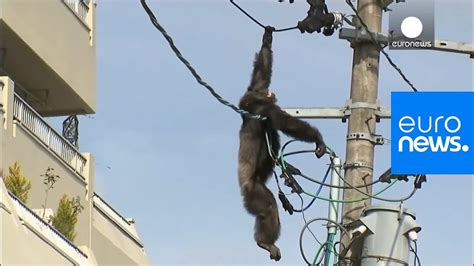 Chimp escape: Primate swings from live power lines, falls