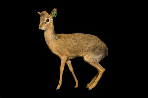 Photo Ark: Kirk's Dik-dik | National Geographic Society