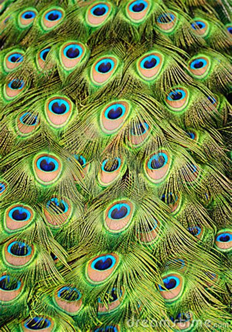 Peacock Background Royalty Free Stock Photography - Image