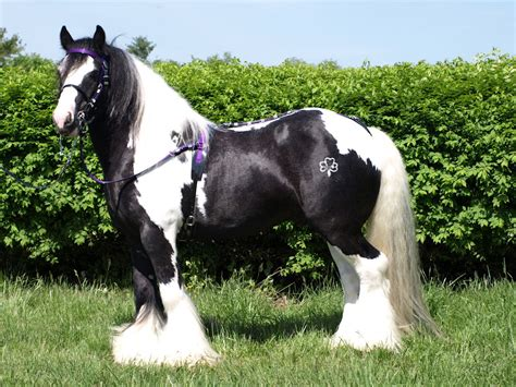 Gypsy Vanner Horse - We Need Fun