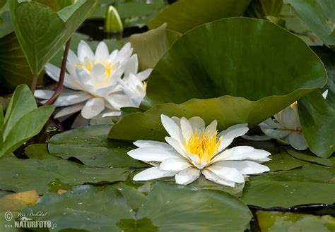 White Water-Lily Photos, White Water-Lily Images, Nature