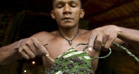 The Excruciating Bullet Ant Glove Test Of The Mawé People