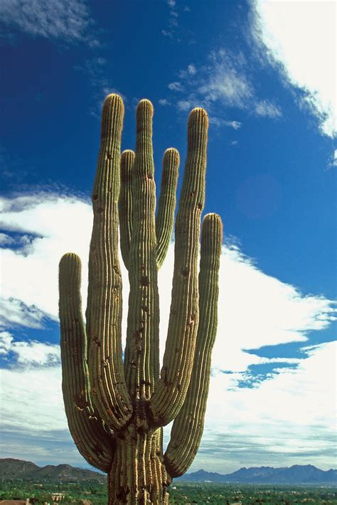 Saguaro Cactus at Camelback Mountain | Phoenix, Arizona U