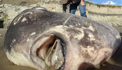 An Extraordinarily Rare Species of Giant Sunfish Washed Up